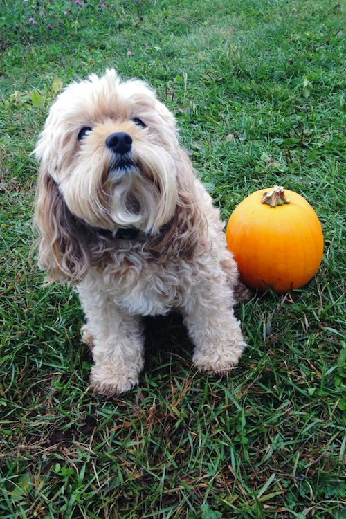 cockapoo puppy pumpkin patch