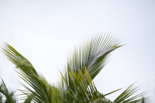 palm fronds bahamas