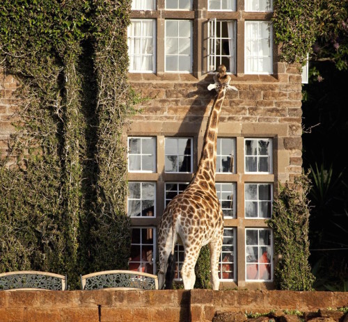 giraffe-manor-500x463