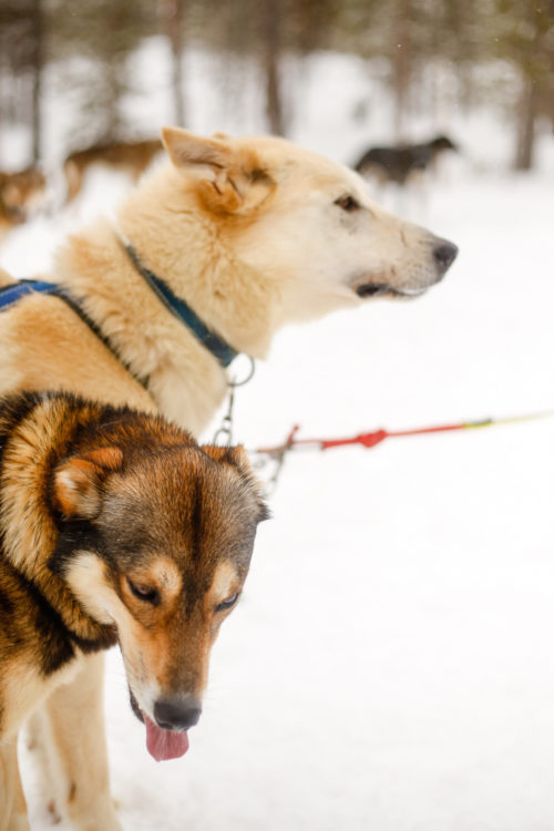 husky farm in finland for dog sledding