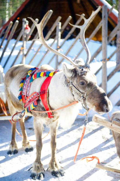 rovaniemi finland santa claus village reindeer safari