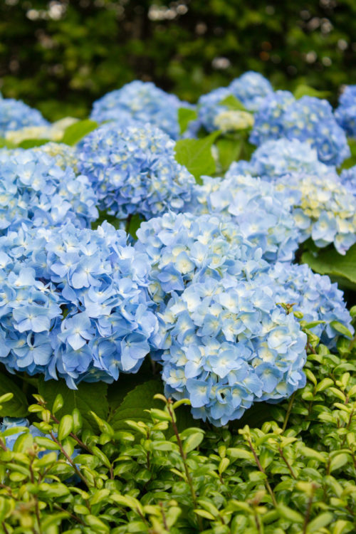 hydrangea season nantucket recommendations