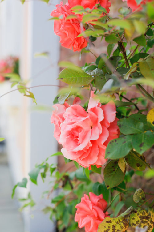 coral roses in southport ct on design darling