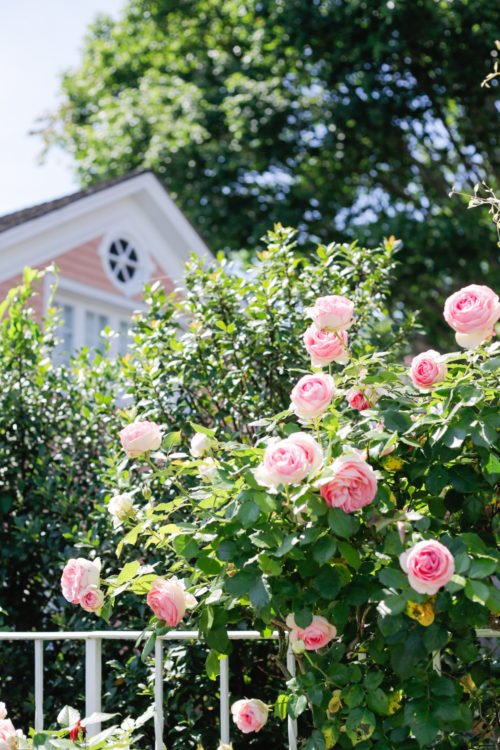 pink house with pink roses in southport ct on design darling