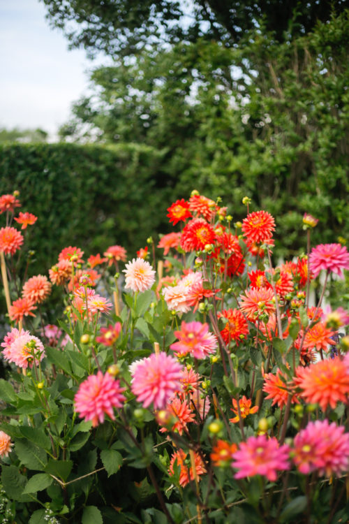 pink and orange dahlias on nantucket