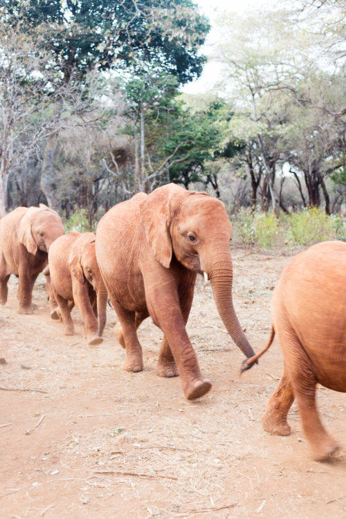 david sheldrick elephant sanctuary
