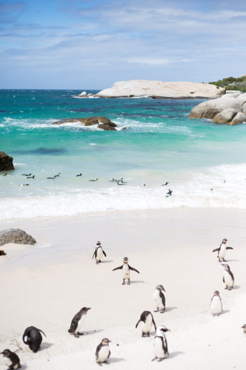 design darling penguins in south africa