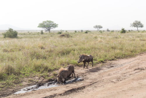 four seasons serengeti game drive warthogs