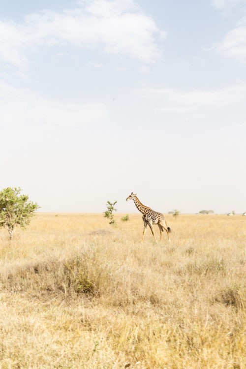 four seasons serengeti giraffe