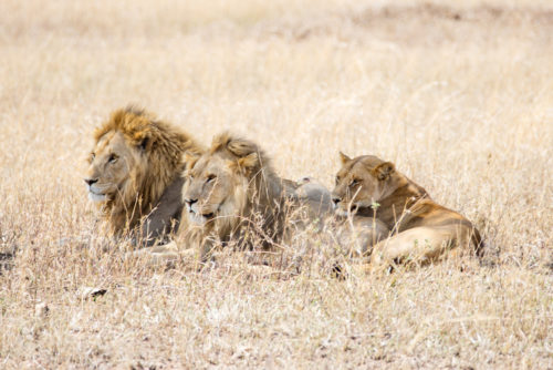 four seasons serengeti lions