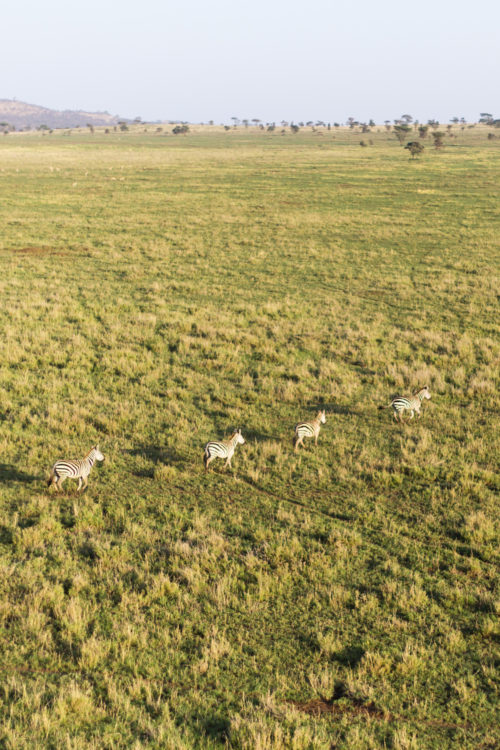 four seasons serengeti zebras from hot air balloon ride