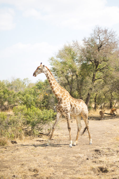 londolozi giraffe on design darling