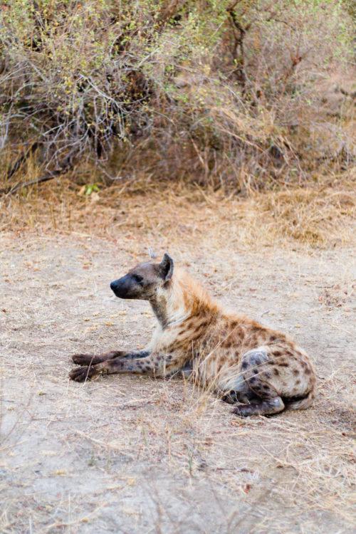 londolozi hyena