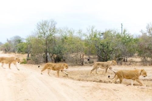 londolozi lions