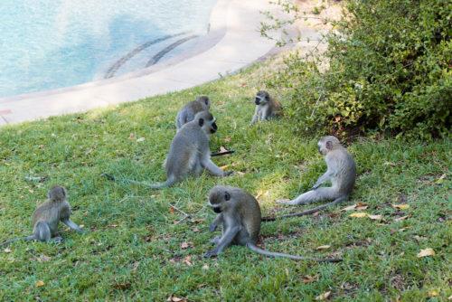 londolozi monkeys