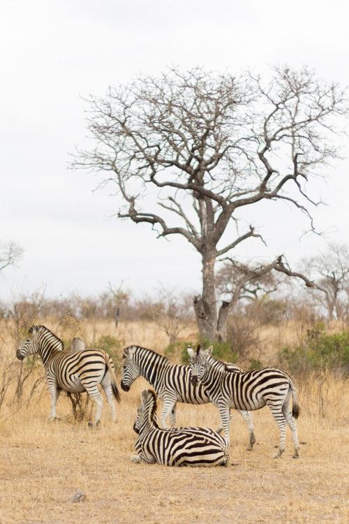 londolozi zebras