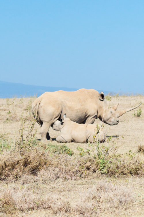 solio lodge white rhinos