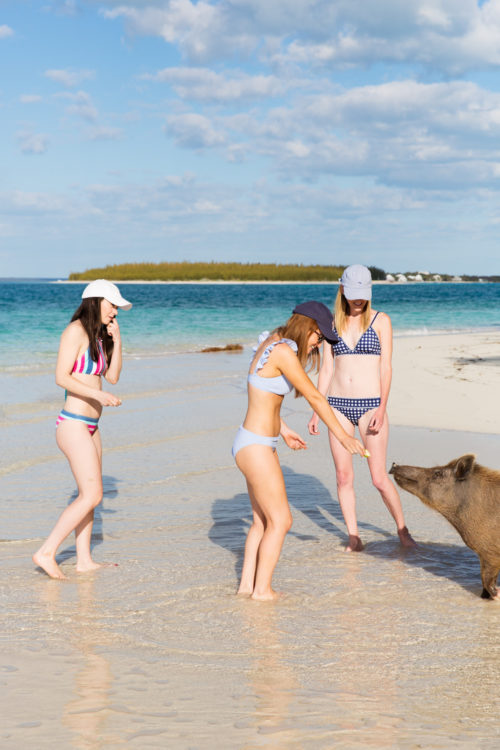 swimming pigs of abaco on design darling