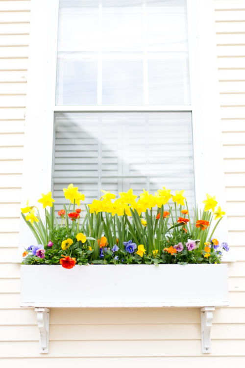 daffodil window box on nantucket