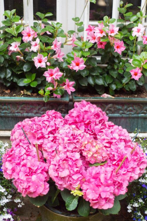 pink hydrangeas in grimaud
