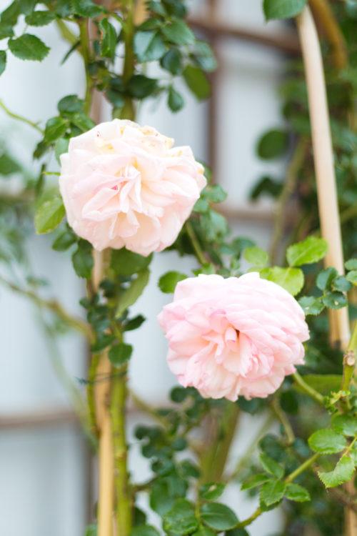 roses in grimaud