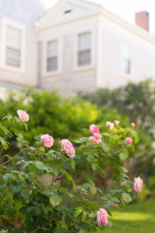 nantucket in june roses