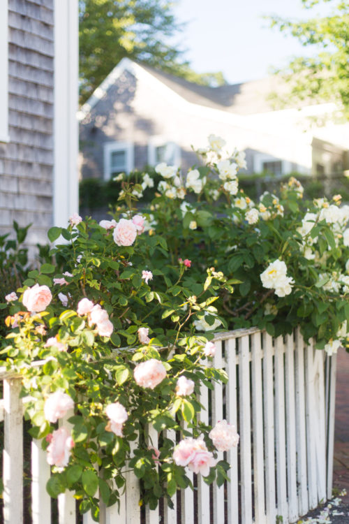 nantucket roses in june