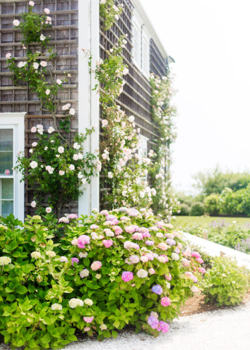 climbing roses and hydrangeas on nantucket