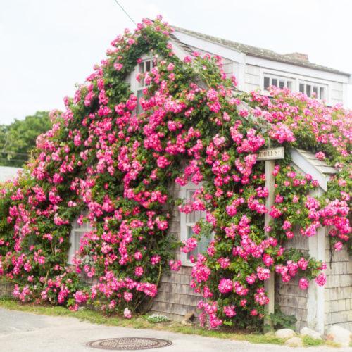 mitchell street nantucket climbing roses