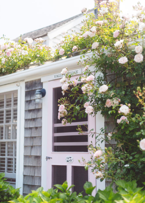 nantucket climbing roses in bloom
