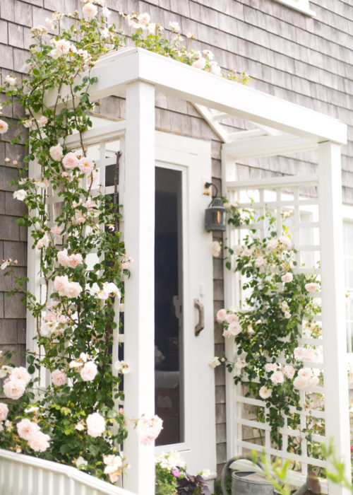 nantucket climbing roses on design darling