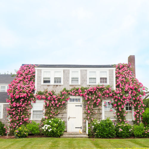 pink climbing roses in sconset nantucket