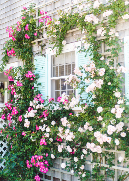 pink roses and turquoise shutters nantucket