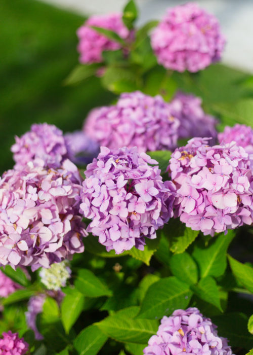 purple hydrangeas nantucket