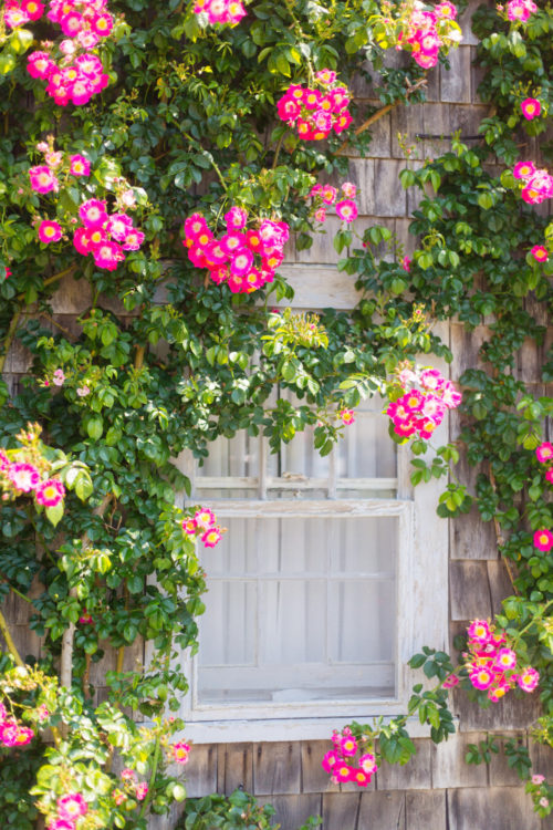 when are roses in bloom on nantucket